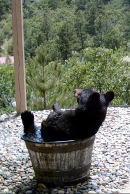 Bear in water barrel