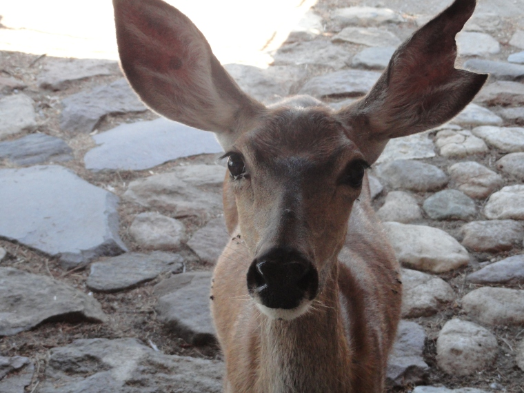 Chomper our deer friend!! Are you Listening. The T is silent