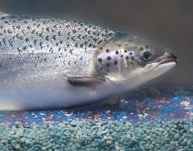 FDA approval of this GMOZ Salmon could affect your DNA.
