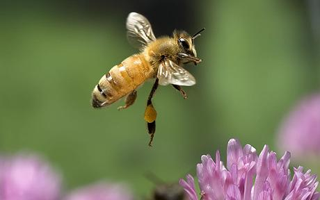 640266 / Insect - Honney Bee