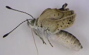 Fukushima Butterflies