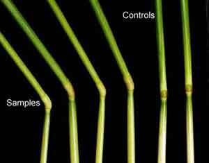 Crop Circle effects on plant stems