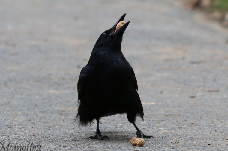 Crow Eating Nuts