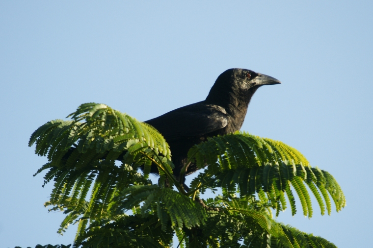 Crow in Tree Top