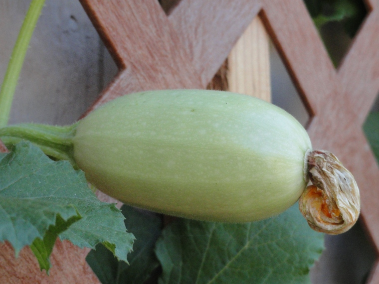 Squash in the making