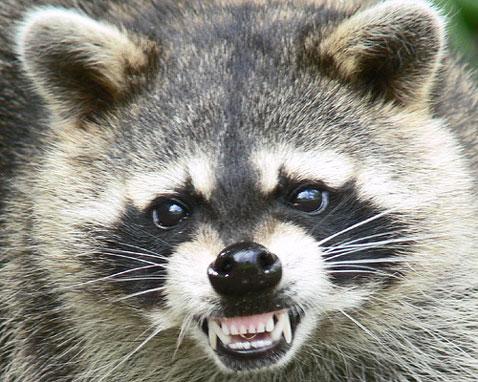 Raccoon Angry