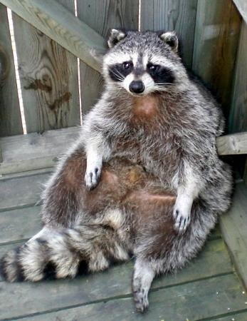 Raccoon Medicine Doowans News Amp Events
