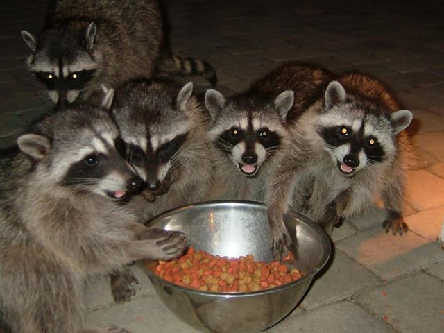 Raccoons eating together