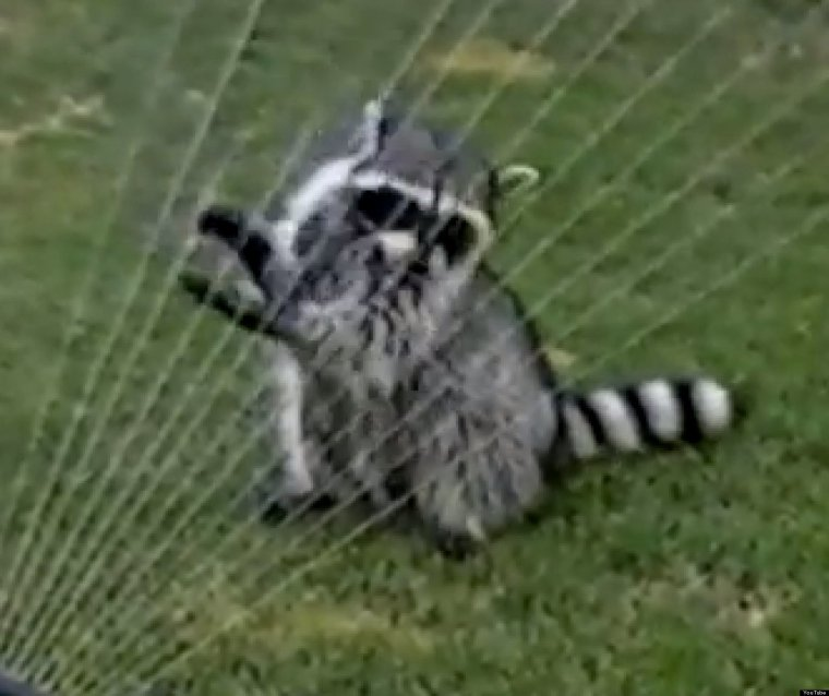 How Long Can A Raccoon Live Without Food