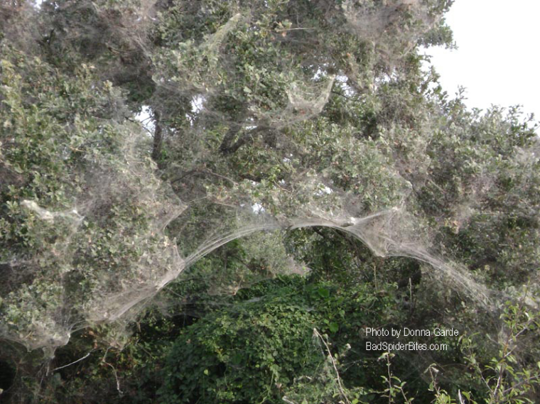 Spider Web in trees