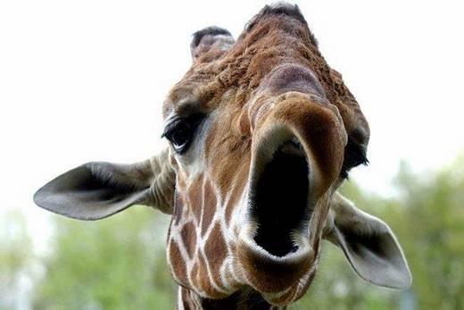 yawning giraffe - photo #3