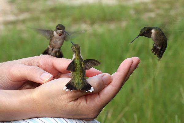 Hummingbirds touching you