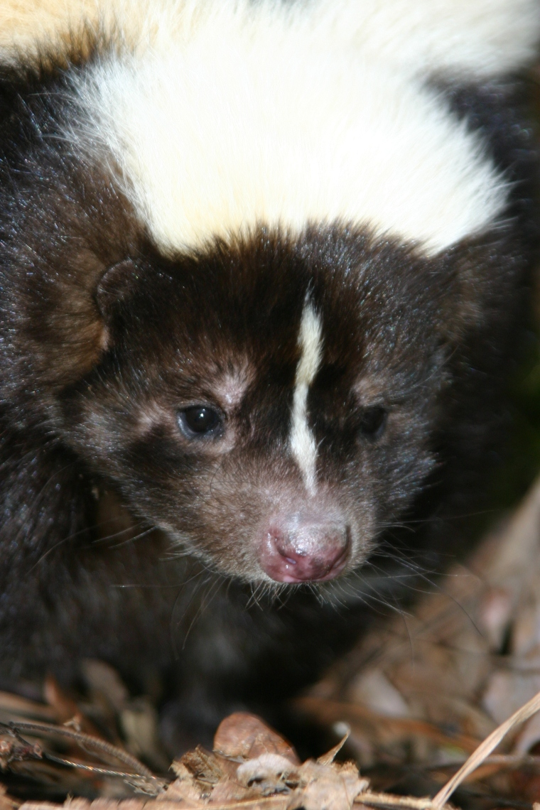 Skunk closeup