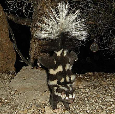 Spotted Skunk ready to spray