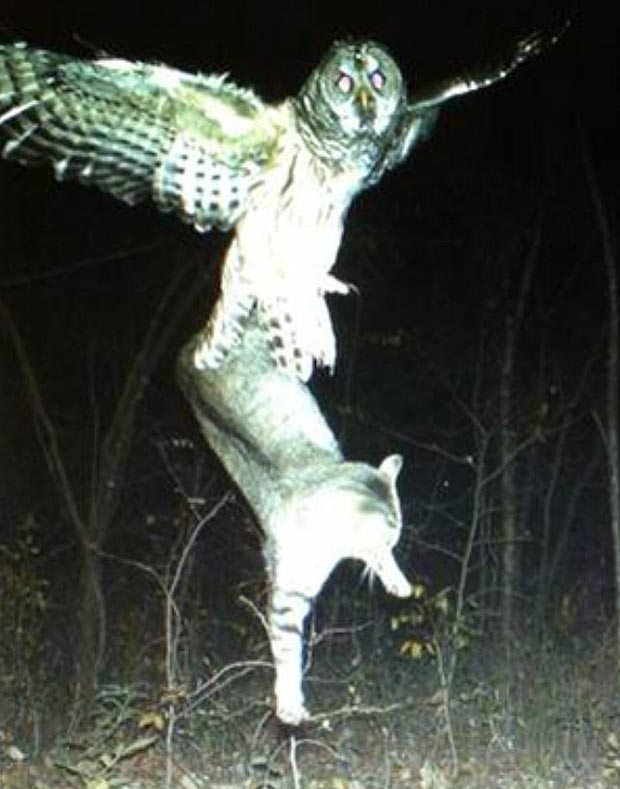Owl hunting cat