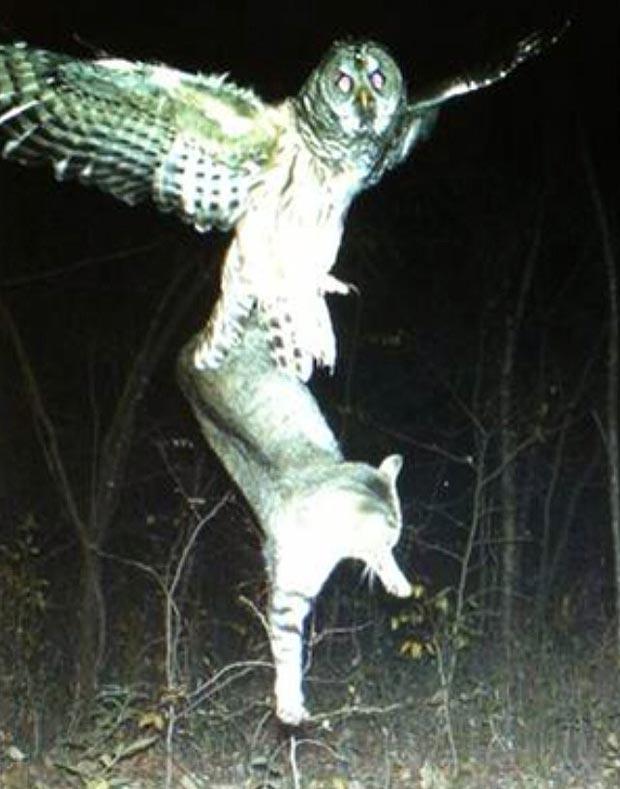 Owl hunting cat