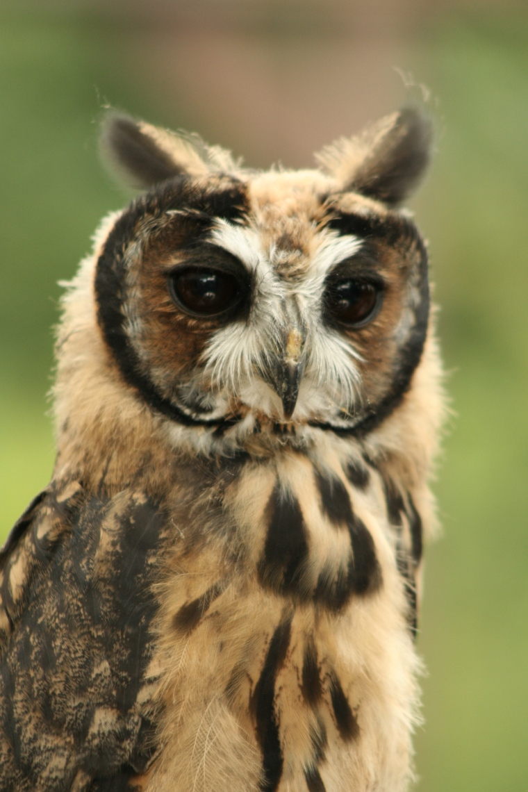 Peruvian_ Striped_Owl