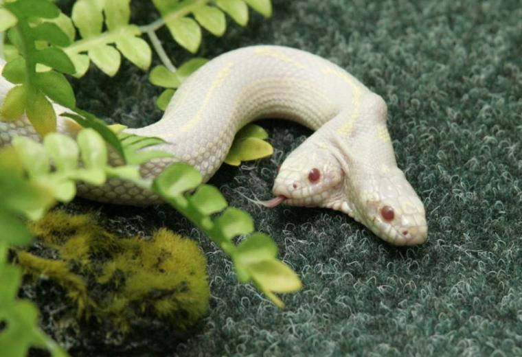 Two headed Albino Snake