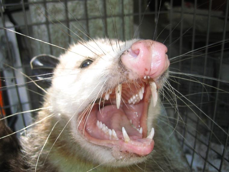 Mad Opossum