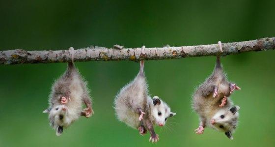 Opossum Medicine