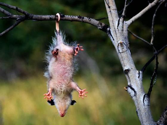 Opossum Medicine Contrary