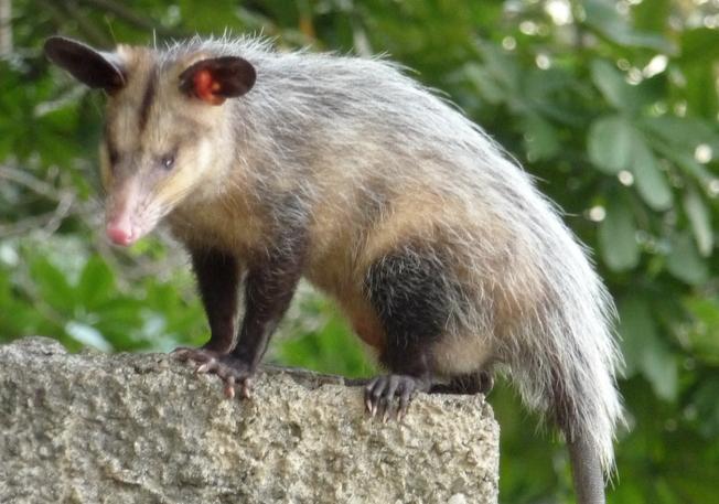 Opossum Family