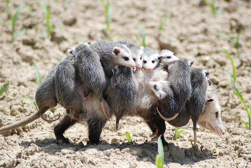 Opossum Medicine Mother
