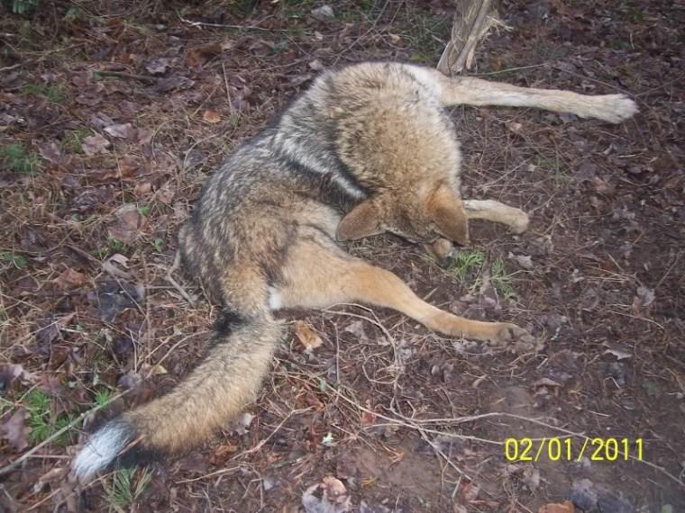Coyote Medicine meets tree