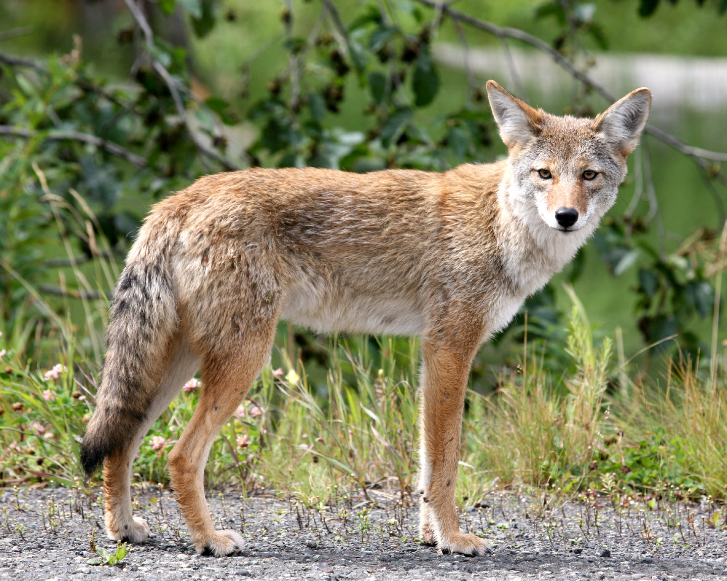 Coyote Medicine – Doowans News&Events