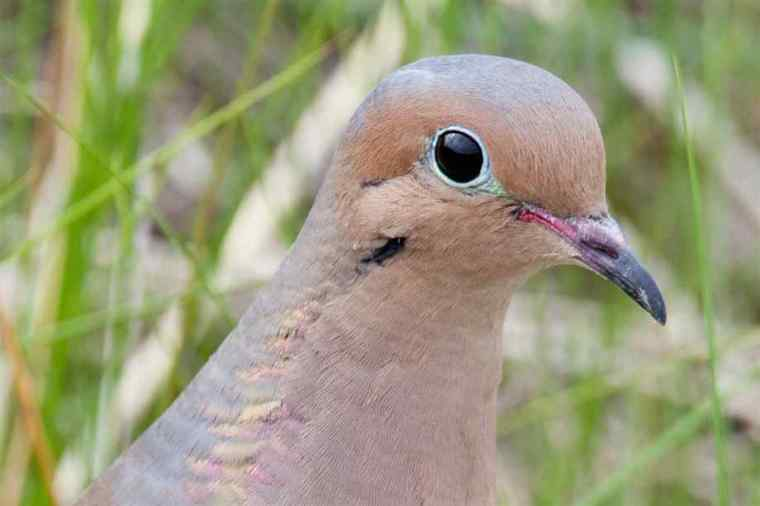 mourning-dove-closeup-2