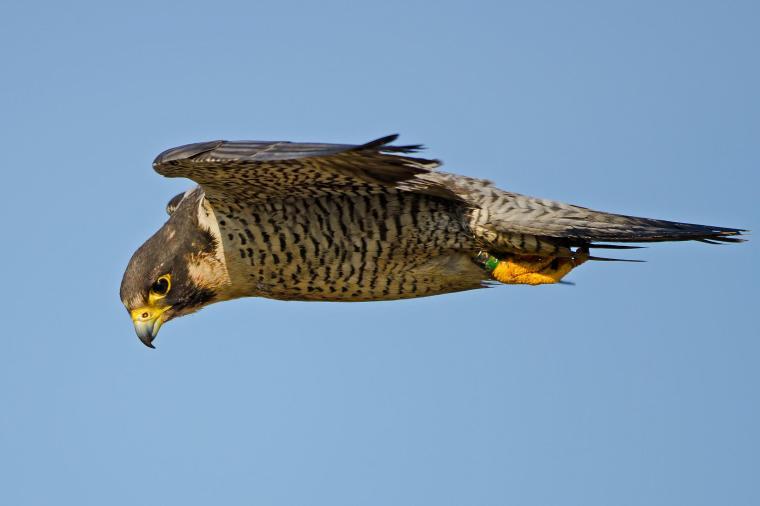 Falcon Medicine