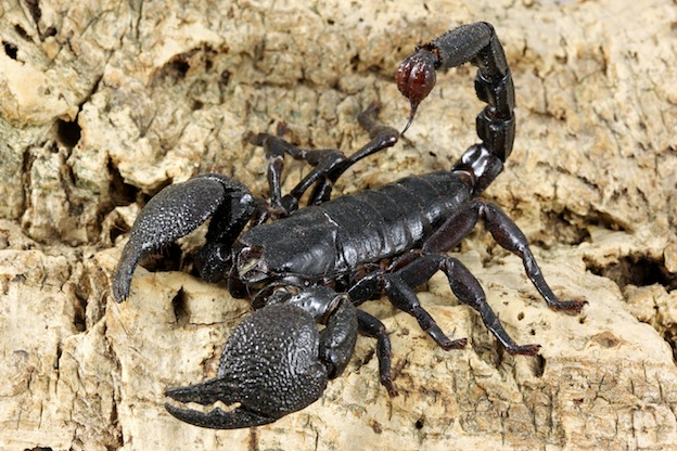 Black Scorpion medicine