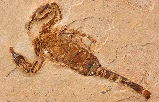 Scorpion Fossil