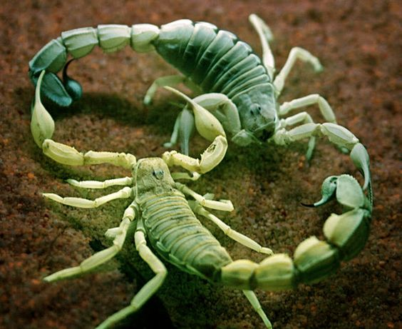 scorpions medicine -mating